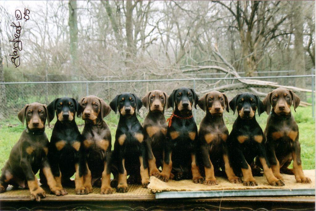 Doberman_Pinscher_Puppy.jpg