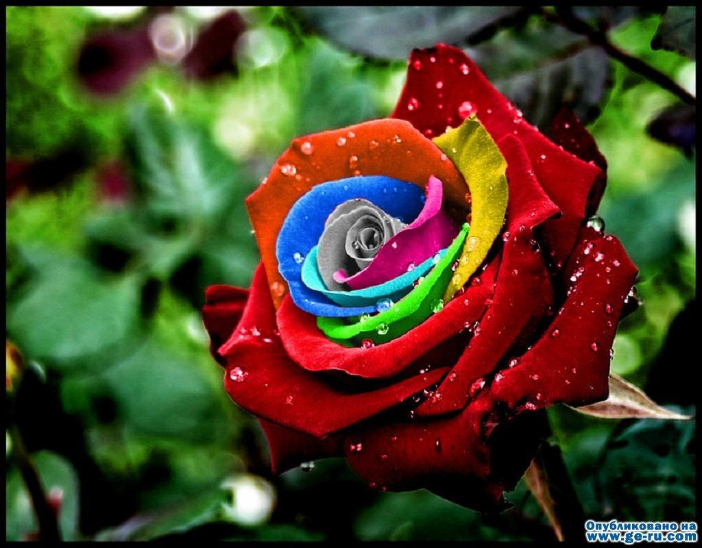 raduzhnaya-roza.jpg
